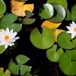 Two water lilies - top view — Stock Photo