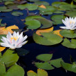 Two water lilies — Stock Photo