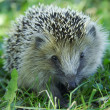 Hedgehog in the grass — Stock Photo #1724152