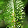 Stock Photo: Conifer tree