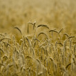 Golden wheat — Stock Photo #1725934