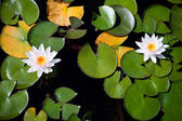 Two water lilies - top view — Stock fotografie