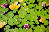 Water lilies - top view — Stock Photo