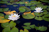 Two water lilies — 图库照片