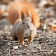 Squirrel in autumn park — Stock Photo #2153868