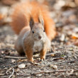 Stock Photo: Squirrel in autumn park
