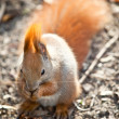 Squirrel in autumn park — Stock Photo #2153881