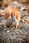 Squirrel in autumn park — 图库照片