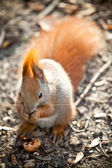 Squirrel in autumn park — Stock fotografie