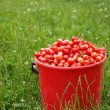 Bucket cherries in green field - Stok fotoğraf
