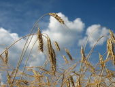 Golden corn and blue sky — Stock Photo