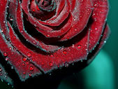 Macro image of dark red rose with water — Stock Photo
