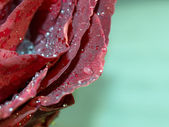 Frozen drops water on the petals rose — Stock Photo