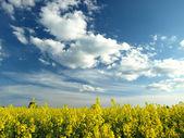 Yellow field and dark blue sky — Stock Photo