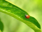 Ladybug on the green leaf — Stock Photo