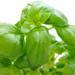 Basil — Stock Photo #1723213