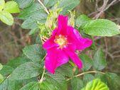 Wrinkled Rose — Stock Photo