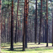 Pine wood — Stock Photo #1693385