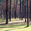 Pine wood — Stock Photo