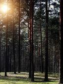 Pine wood — Stock Photo