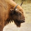 Royalty-Free Stock Photo: Bison