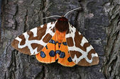 Tiger Moth — Stock Photo