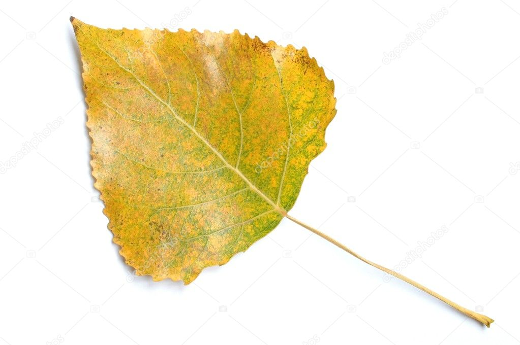 Aspen leaf — Stock Photo #1655222