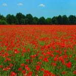 Poppies — Stock Photo #1711688