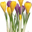 Stock Photo: Crocuses