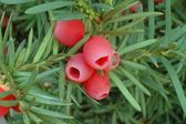 Yew-tree berries — Stock Photo