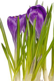 Spring Crocuses — Stock Photo