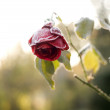 Stock Photo: Frozen red rose