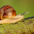 Snail. — Stock Photo