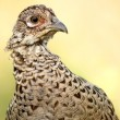 Common Pheasant — Stock Photo #1644969