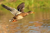 Duck. — Stock Photo