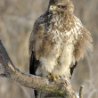 Stock Photo: Common Buzzard