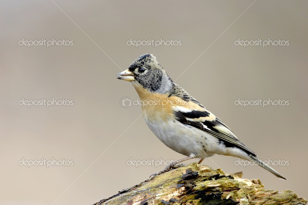 Brambling  (Fringilla montifringilla )  — Stock Photo #1695199