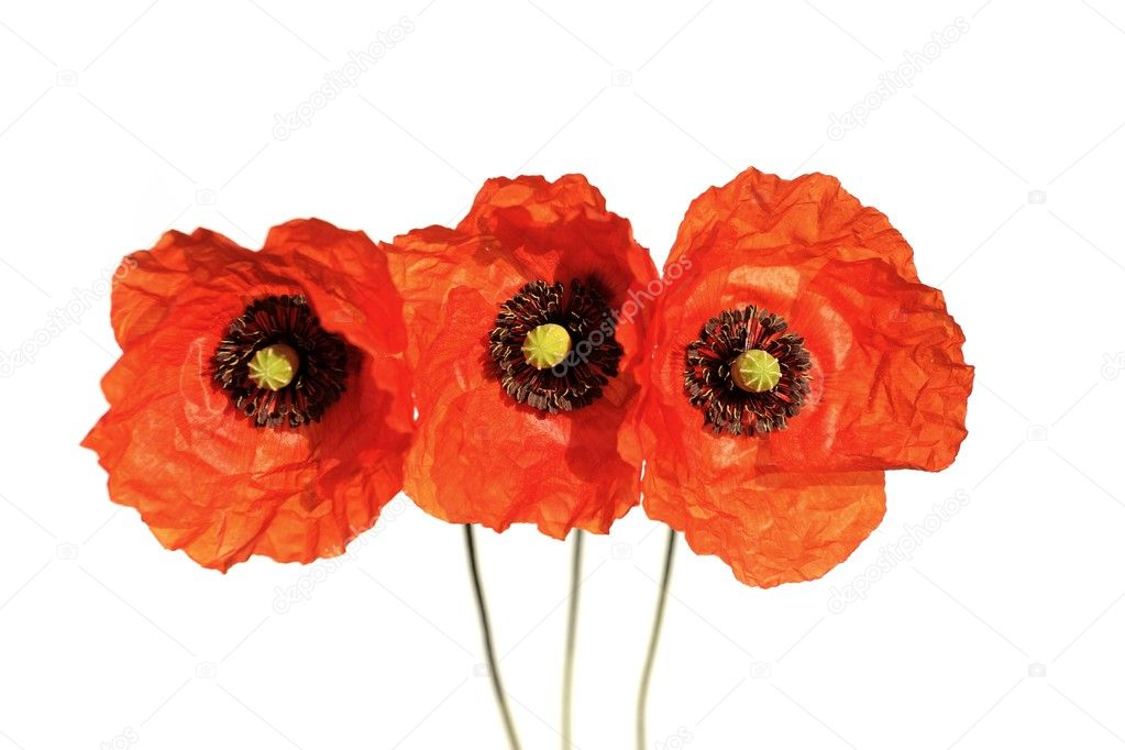 Poppy flower  isolated on white background. — Stock Photo #1731305