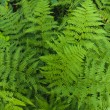 Fern — Stock Photo #1710119