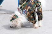 Chinese Crested set two — Stock Photo