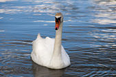 Swan set three — Stock Photo