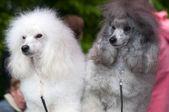 两个狮子狗设置两个 — 图库照片