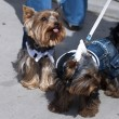 Yorkshire Terrier — Stock Photo #1857592