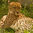 Cheetah — Stock Photo #1693427