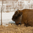 Wild bison knocked over by car — Stock Photo