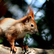 Squirrels — Stockfoto