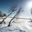 Royalty-Free Stock Photo: Trees under snow with sunshine star.