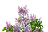 Violet lilac branch — Stock Photo