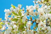 白樱桃花 — 图库照片