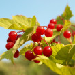 Bunches of red snowball tree berryes - Stock Photo